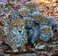 Cheetah and many cubs