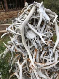 Antique pile of antlers.