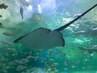 Manta Ray at Ripley's Aquarium in Toronto
