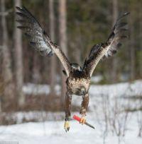 Once in a lifetime shot - ASBO Golden Eagle...