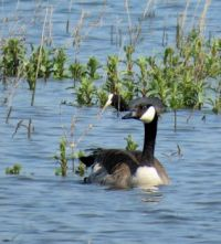 Canada goose (and coot)
