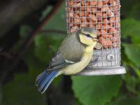 Pimpelmees jong (NL). Blue tit juvenile (EN).
