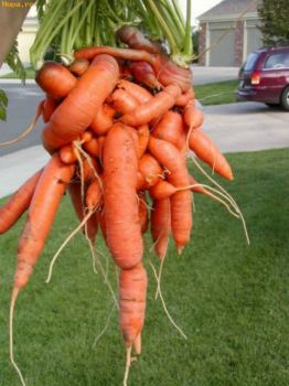 Playing With Your Food~A Crowd of Carrots