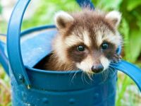 Raccoon in a Can