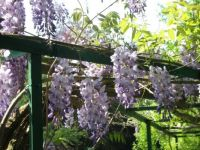 Wisteria in the Spring