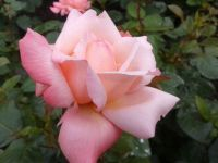 Octavia pink
