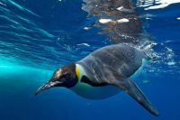 2  ~  Swimming Penguin.