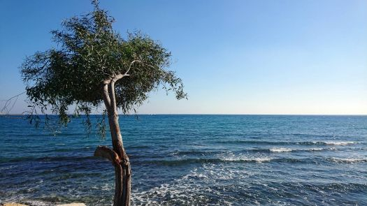 olive tree on seaside limassol cyprus