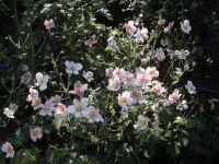 roses mexique