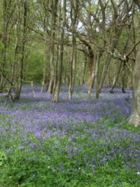 bluebells at arlington, sussex 1