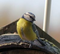 hello little bluetit :)