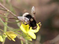 Hoverfly - Eristalis intricaria (Hommelbijvlieg)