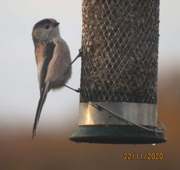 Long Tailed Tit on breakfast call yesterday