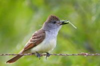Greg Lavaty - at US Nat. Wildlife Refuges Brown-crested Flycatcher Laguna Atascosa nwr