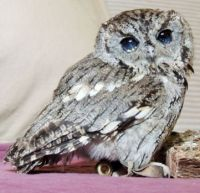 Zeus, the Rescued Blind Owl with Stars in his Eyes