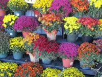 chrysanthemums for sale