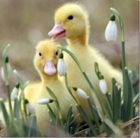 Happy Goslings