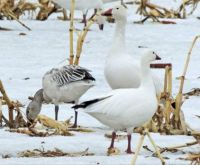 Snow Goose Trio: Two Adults and an Immature