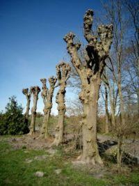 cut linden trees