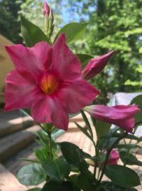 Mandivilla blossom