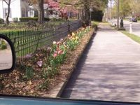 My moms neighbors tulips wish I had such a fancy display