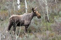 Moose at Pine Creek Pass, Idaho