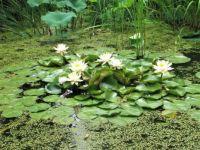 Waterlilies and Duckweed