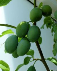 my plums are getting bigger