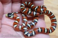 Ariona Mountain Kingsnake