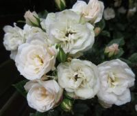 White Circus Rose