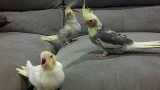3 young cockatiels I just bought.