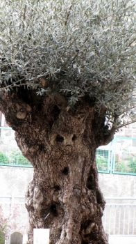 Olive tree with face