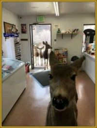 A Deer Walked into a Store in Colorado ...