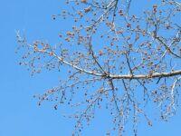 Overhanging Sweet Gum tree branch