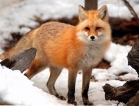 Beautiful fox