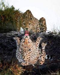 mirror cheetah