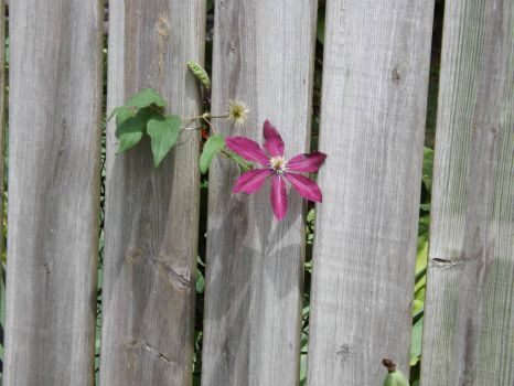 A Flower thru a fence