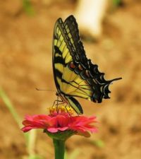 Yellow swallowtail on zinnia