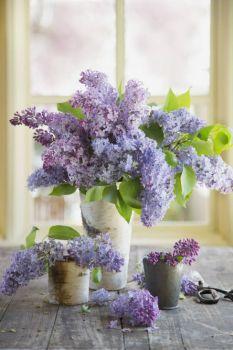 Lilacs 3