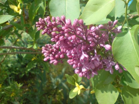 Lilac by my window