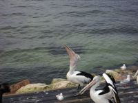 Pelican Feeding Time
