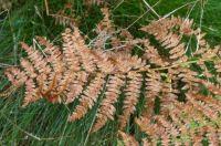 Theme Colours of Autumn: Farn leaf already in autumn colour