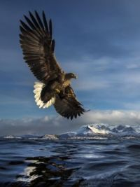 The White Tailed Eagle