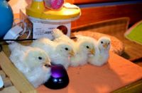 Chicks with Mouse