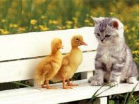 Cat and Ducklings