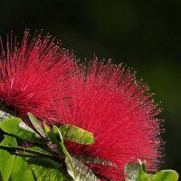 Red Albizia Julibrissin Tree Seeds