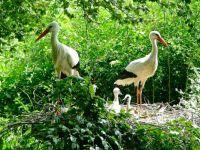 White Stork Family