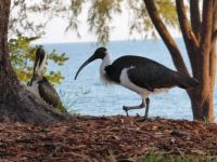 Ibis at Nightcliff Jetty