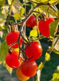 Red tomatoes in the sun