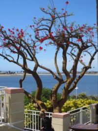 Coral tree, San Diego